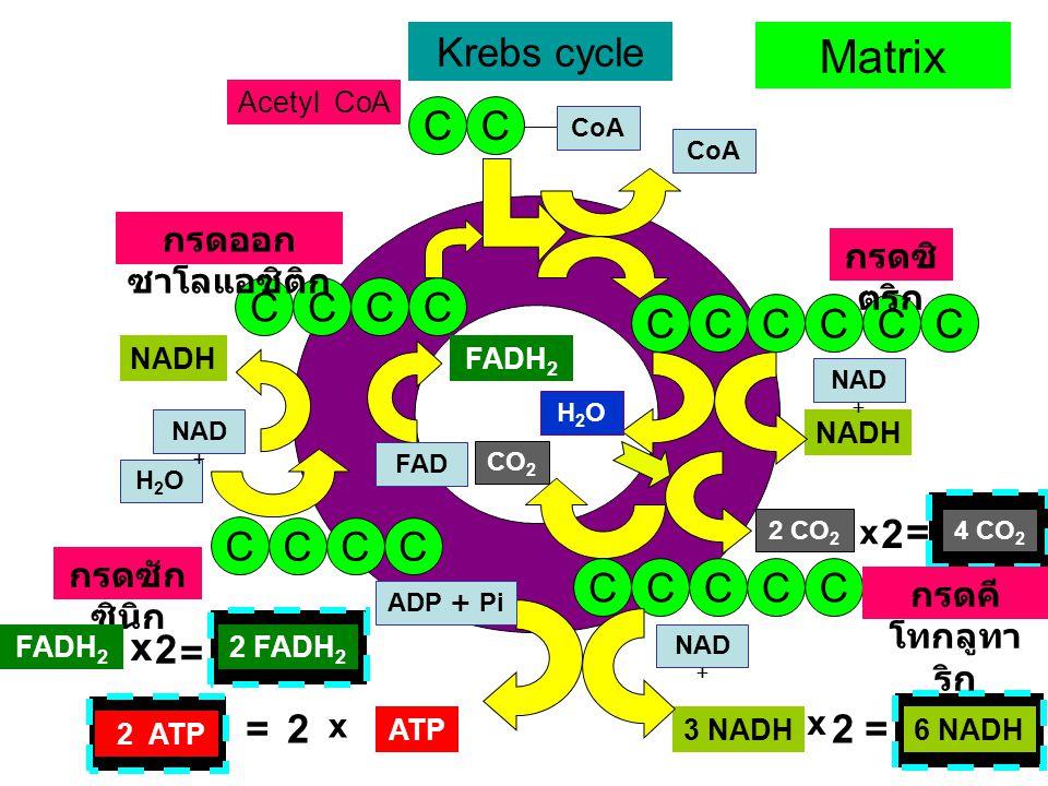 CO 2 NADH 3 NADH 2 CO 2 Krebs cycle CC CoA CCCC กรดออก ซาโลแอซิติก CCCCCC กรดซิ ตริก H2OH2O NAD + CCCCC กรดคี โทกลูทา ริก CO 2 NAD + ADP + Pi ATP C CCC กรดซัก ซินิก H2OH2O NAD + NADH Acetyl CoA Matrix FAD FADH 2 x 2 = 2 FADH 2 2= 6 NADH x 2 = 4 CO 2 2 ATP x 2= x