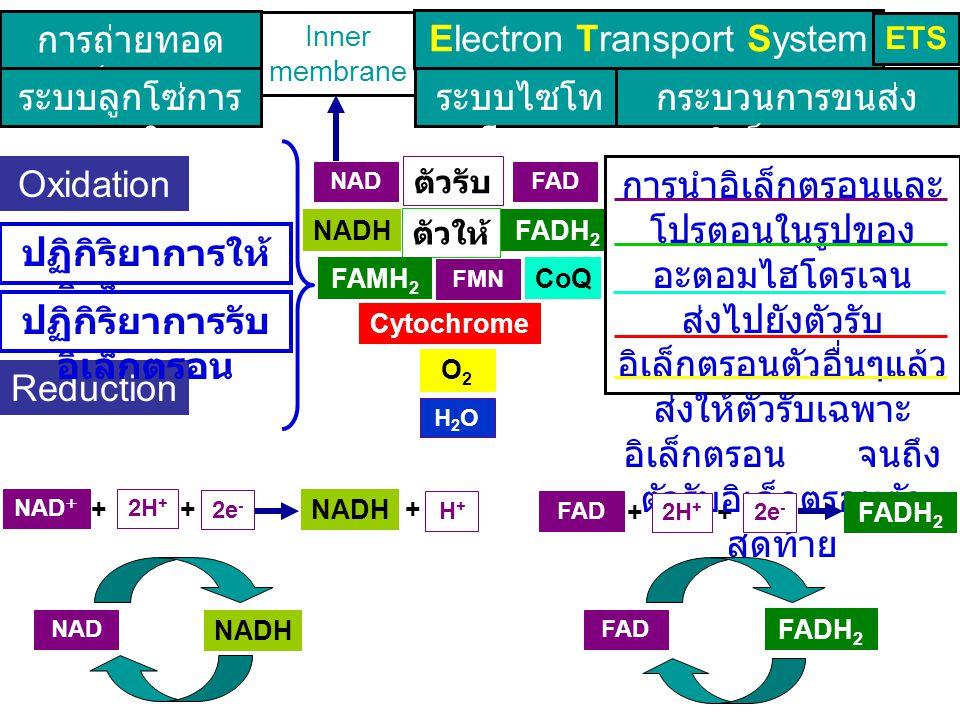 ++ +++ FADH 2 Inner membrane Electron Transport System ETS การถ่ายทอด อิเล็กตรอน ระบบลูกโซ่การ หายใจ ระบบไซโท โครม กระบวนการขนส่ง อิเล็กตรอน การนำอิเล็กตรอนและ โปรตอนในรูปของ อะตอมไฮโดรเจน ส่งไปยังตัวรับ อิเล็กตรอนตัวอื่นๆแล้ว ส่งให้ตัวรับเฉพาะ อิเล็กตรอน จนถึง ตัวรับอิเล็กตรอนตัว สุดท้าย Oxidation Reduction NAD + FAD ปฏิกิริยาการให้ อิเล็กตรอน ปฏิกิริยาการรับ อิเล็กตรอน ตัวรับ e - NADH Cytochrome ตัวให้ e - CoQ O2O2 H2OH2O FMN FAMH 2 FADH 2 NAD + FAD NADH FADH 2 NAD + FAD NADH 2H + 2e - H+H+