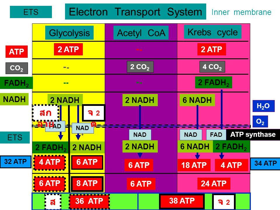 Electron Transport System ETS GlycolysisAcetyl CoA Krebs cycle ATP FADH 2 NADH 2 ATP- 2 FADH 2 --- 2 NADH 6 NADH CO 2 2 CO 2 4 CO 2 ETS FAD NAD + สก ลาย จ 2ตจ 2ต 2 NADH2 FADH 2 4 ATP 6 ATP 18 ATP4 ATP 6 ATP8 ATP 6 ATP 24 ATP 38 ATP Inner membrane 36 ATP จ 2ตจ 2ต สดสด - 34 ATP 32 ATP H2OH2O ATP synthase O2O2 NAD + FADNAD + 2 NADH2 FADH 2 6 NADH