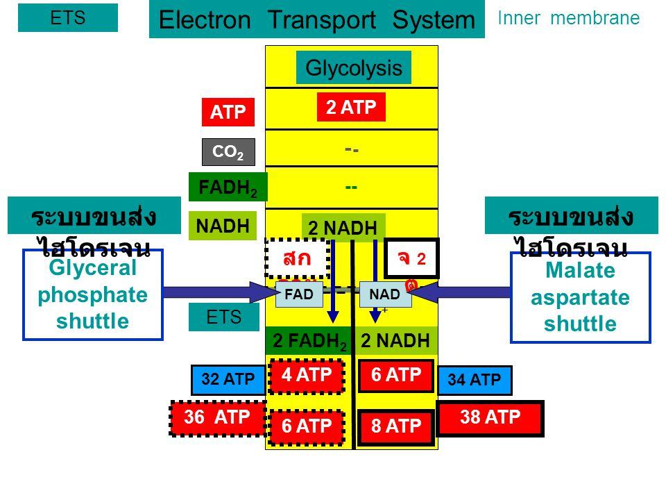 Electron Transport System ETS Glycolysis ATP FADH 2 NADH 2 ATP 2 NADH CO 2 ETS NAD + สก ลาย จ 2ตจ 2ต 2 NADH2 FADH 2 4 ATP 6 ATP 8 ATP Inner membrane 32 ATP -- - FAD Glyceral phosphate shuttle Malate aspartate shuttle ระบบขนส่ง ไฮโดรเจน 38 ATP36 ATP 34 ATP