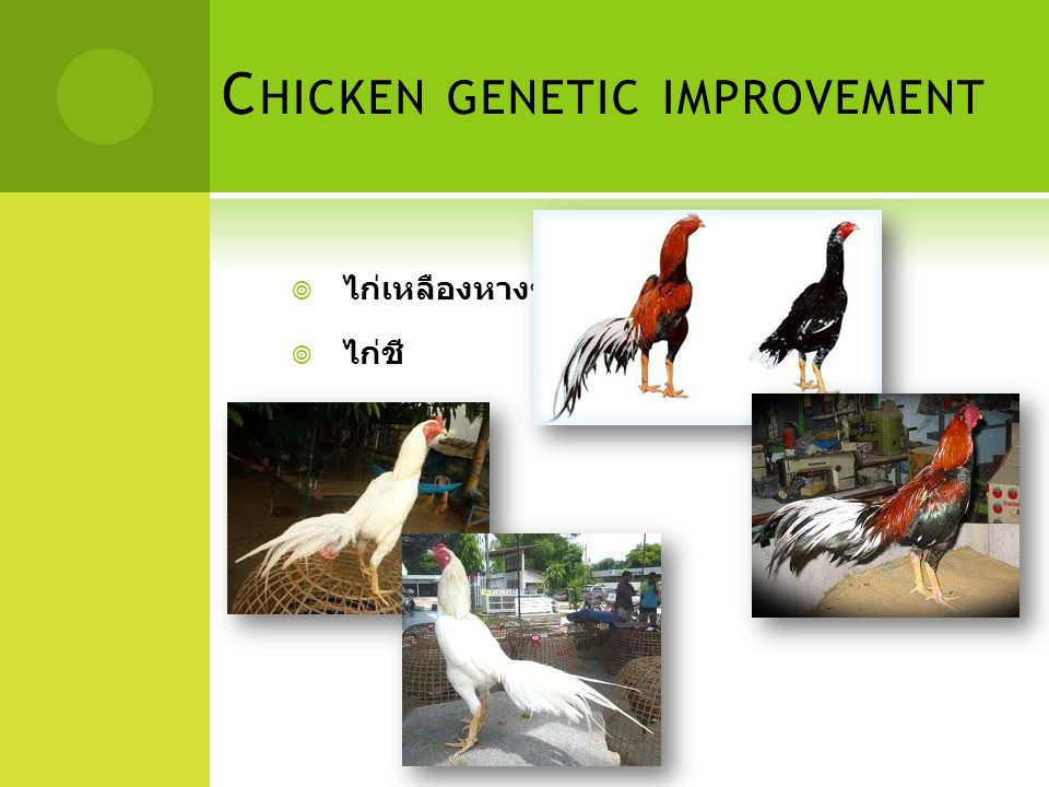 C HICKEN GENETIC IMPROVEMENT  ไก่เหลืองหางขาว  ไก่ชี