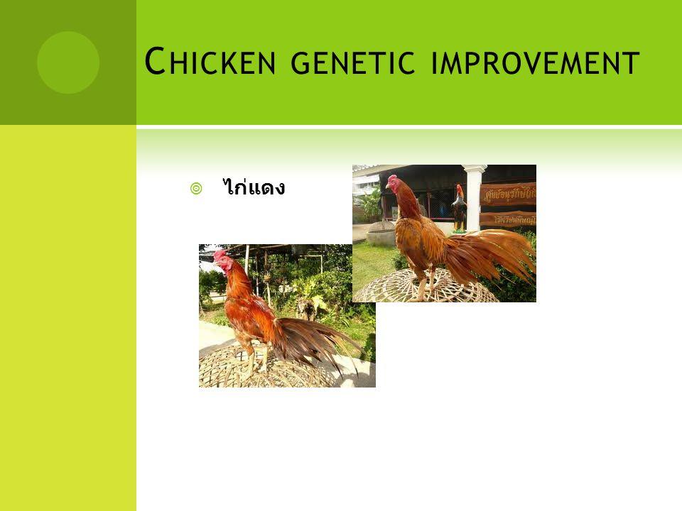 C HICKEN GENETIC IMPROVEMENT  ไก่แดง