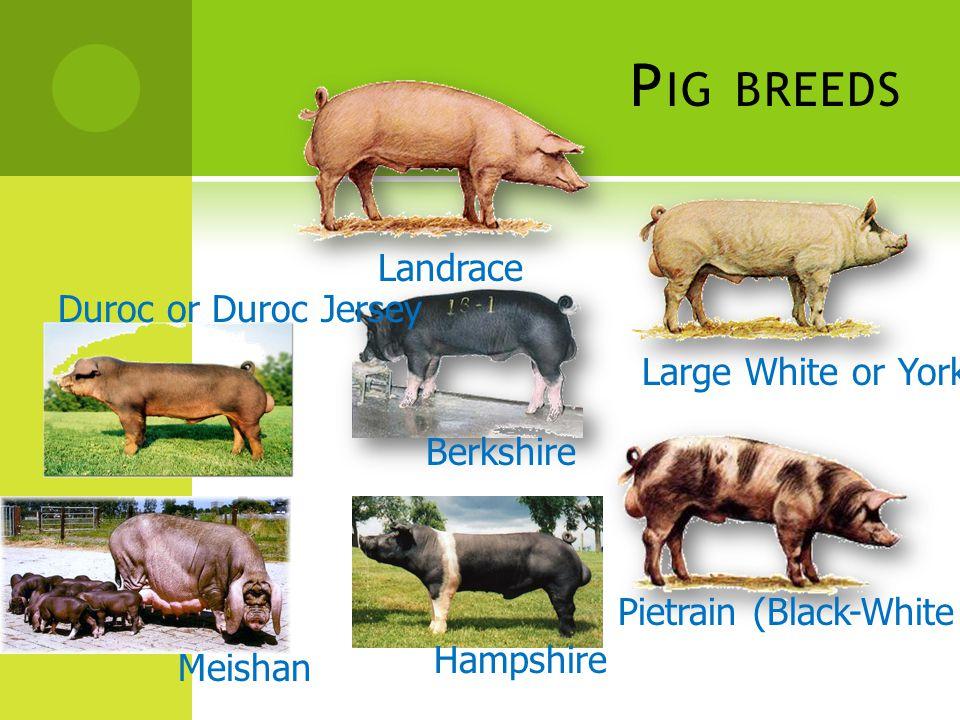 C HICKEN GENETIC IMPROVEMENT  ไก่เนื้อ น้ำหนักตัว อาหารที่กิน จำนวนวันที่เลี้ยง อัตราการตาย / พิการ การวัดประสิทธิภาพการผลิต อัตราการเจริญเติบโตเฉลี่ยต่อวัน = น้ำหนักที่เพิ่ม / จำนวนวันที่เลี้ยง ประสิทธิภาพการใช้อาหาร = ปริมาณอาหารที่กิน / น้ำหนักที่เพิ่มขึ้น ไขมันสะสม ( บอกประสิทธิภาพของคุณภาพซาก ) การวัดประสิทธิภาพระบบสืบพันธุ์ 1.