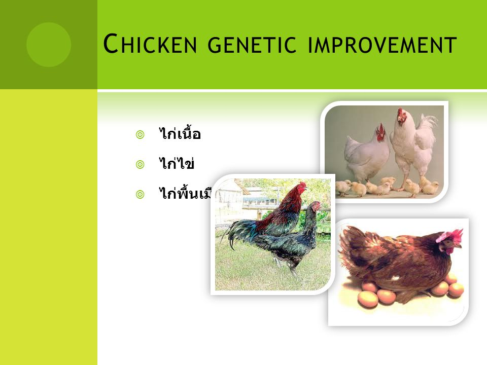 C HICKEN GENETIC IMPROVEMENT  ไก่เนื้อ  ไก่ไข่  ไก่พื้นเมือง