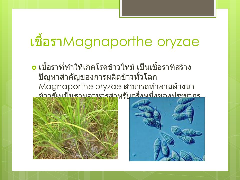 เชื้อรา Magnaporthe oryzae  เชื้อราที่ทำให้เกิดโรคข้าวไหม้ เป็นเชื้อราที่สร้าง ปัญหาสำคัญของการผลิตข้าวทั่วโลก Magnaporthe oryzae สามารถทำลายล้างนา ข