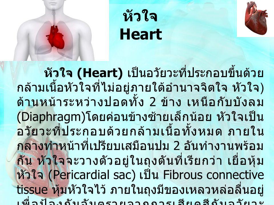 หัวใจ Heart หัวใจ (Heart) เป็นอวัยวะที่ประกอบขึ้นด้วย กล้ามเนื้อหัวใจที่ไม่อยู่ภายใต้อำนาจจิตใจ หัวใจ ) ด้านหน้าระหว่างปอดทั้ง 2 ข้าง เหนือกับบังลม (D