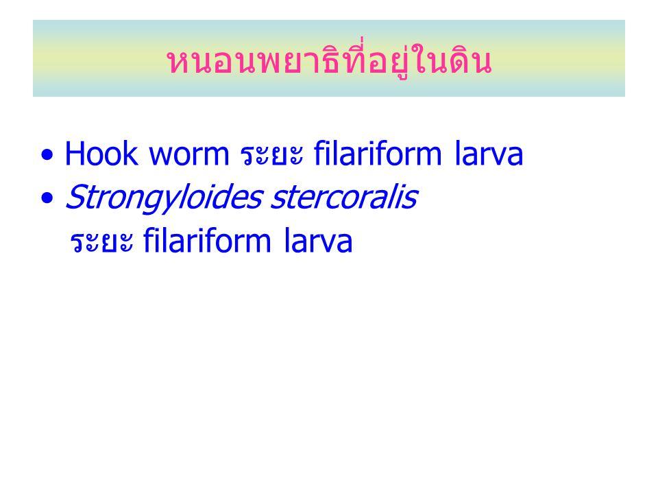 หนอนพยาธิที่อยู่ในดิน Hook worm ระยะ filariform larva Strongyloides stercoralis ระยะ filariform larva