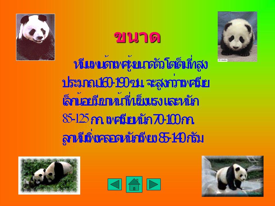 ลักษณะเด่น ลักษณะที่โดดเด่นของ หมีแพนด้า คือมีขนสีดำ และสีขาว บริเวณหัว คอ ตะโพก จะมีสีขาว ส่วน รอบๆตาทั้งสองข้าง หู ไหล่ ขาหน้า และขา หลังจะมีสีดำ หั