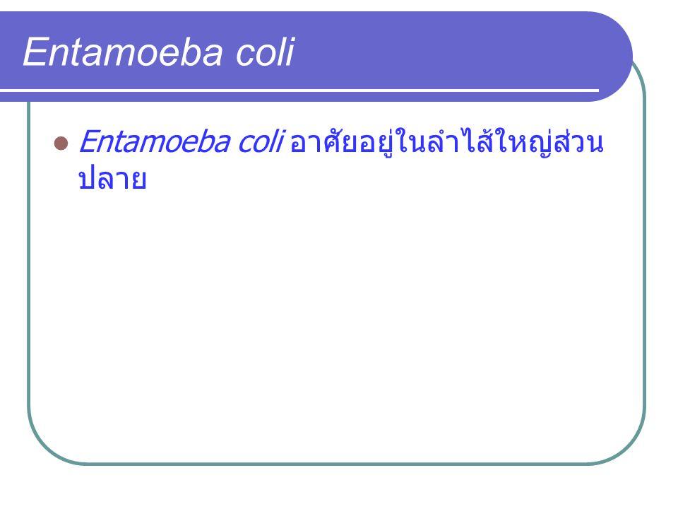 Entamoeba coli Entamoeba coli อาศัยอยู่ในลำไส้ใหญ่ส่วน ปลาย