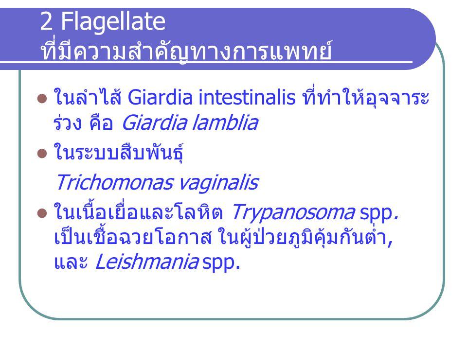 2 Flagellate ที่มีความสำคัญทางการแพทย์ ในลำไส้ Giardia intestinalis ที่ทำให้อุจจาระ ร่วง คือ Giardia lamblia ในระบบสืบพันธุ์ Trichomonas vaginalis ในเ