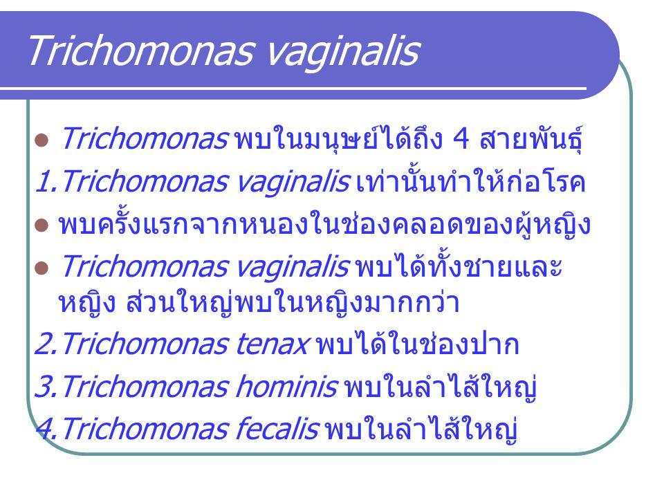 Trichomonas vaginalis Trichomonas พบในมนุษย์ได้ถึง 4 สายพันธุ์ 1.Trichomonas vaginalis เท่านั้นทำให้ก่อโรค พบครั้งแรกจากหนองในช่องคลอดของผู้หญิง Trich