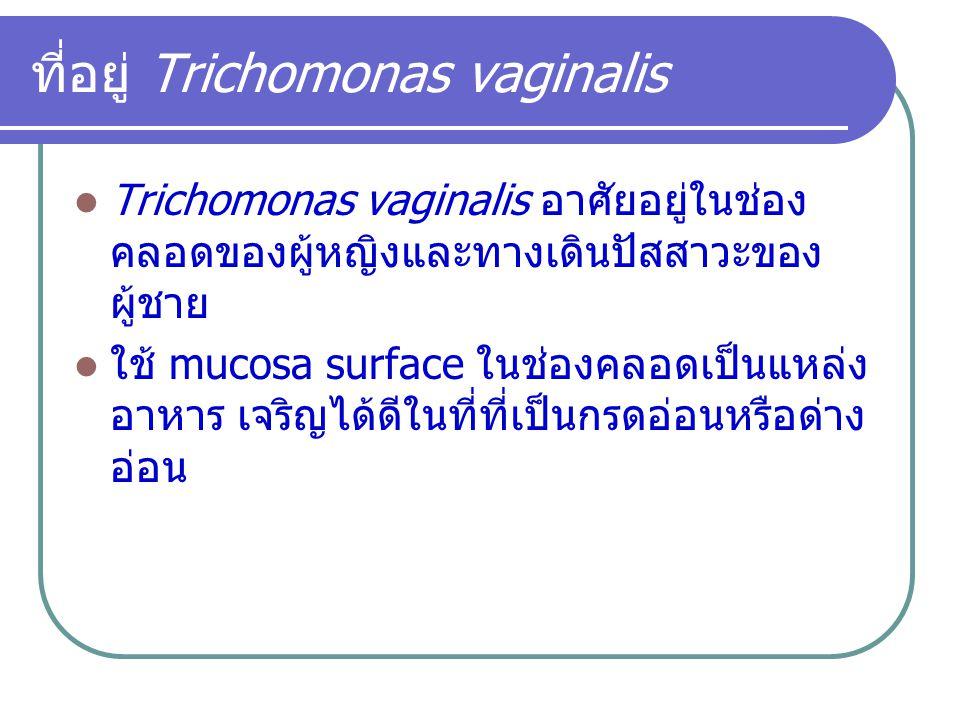 ที่อยู่ Trichomonas vaginalis Trichomonas vaginalis อาศัยอยู่ในช่อง คลอดของผู้หญิงและทางเดินปัสสาวะของ ผู้ชาย ใช้ mucosa surface ในช่องคลอดเป็นแหล่ง อ