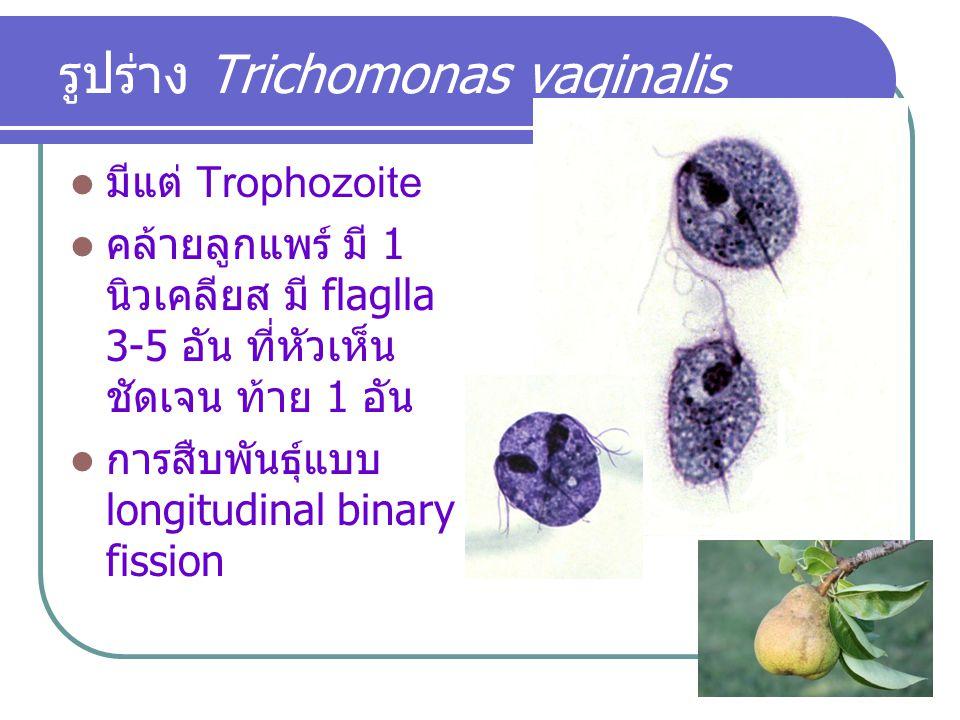 รูปร่าง Trichomonas vaginalis มีแต่ Trophozoite คล้ายลูกแพร์ มี 1 นิวเคลียส มี flaglla 3-5 อัน ที่หัวเห็น ชัดเจน ท้าย 1 อัน การสืบพันธุ์แบบ longitudin