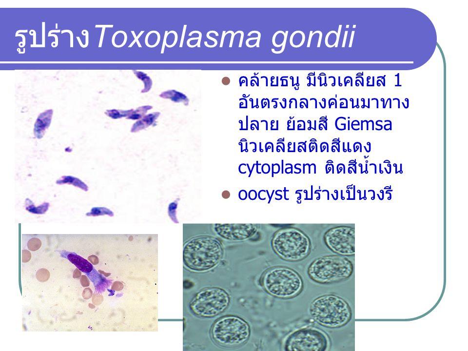 รูปร่าง Toxoplasma gondii คล้ายธนู มีนิวเคลียส 1 อันตรงกลางค่อนมาทาง ปลาย ย้อมสี Giemsa นิวเคลียสติดสีแดง cytoplasm ติดสีน้ำเงิน oocyst รูปร่างเป็นวงร