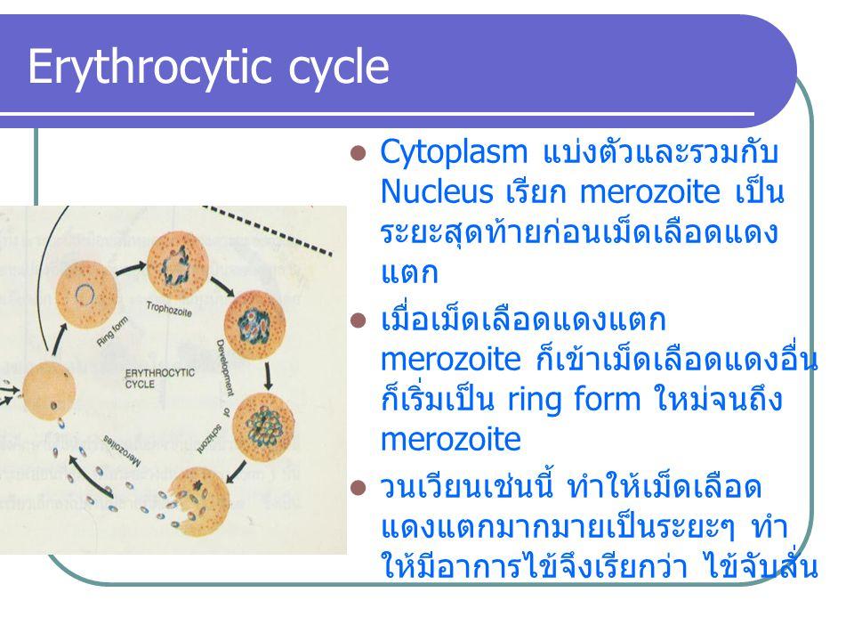 Cytoplasm แบ่งตัวและรวมกับ Nucleus เรียก merozoite เป็น ระยะสุดท้ายก่อนเม็ดเลือดแดง แตก เมื่อเม็ดเลือดแดงแตก merozoite ก็เข้าเม็ดเลือดแดงอื่น ก็เริ่มเ