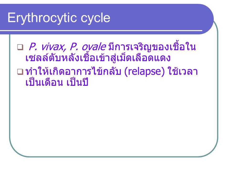  P. vivax, P. ovale มีการเจริญของเชื้อใน เซลล์ตับหลังเชื้อเข้าสู่เม็ดเลือดแดง  ทำให้เกิดอาการไข้กลับ (relapse) ใช้เวลา เป็นเดือน เป็นปี Erythrocytic