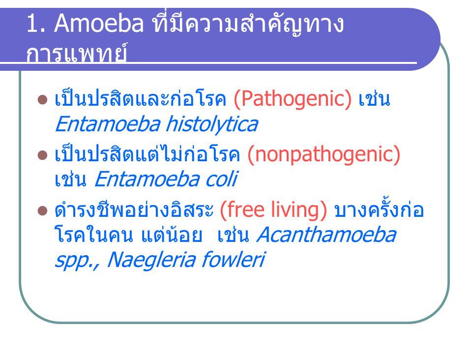 ในระยะRing form นี้ บางตัวไม่เป็น schizont หรือ merozoite แต่ cytoplasm จะหนาขึ้น neucleus ก็โตขึ้น pigment มากขึ้น แล้วเจริญเป็น sex cell เรียกว่า gametocyte มีทั้งตัวผู้ (microgametocyte) และ ตัวเมีย (macrogametocyte) ซึ่งจะพบหลังเป็นโรคได้ ระยะหนึ่ง grametocyte นี้เป็นตัวสำคัญที่ทำให้เชื้อแพร่สู่ ผู้อื่นได้โดยผ่านยุง Erythrocytic cycle