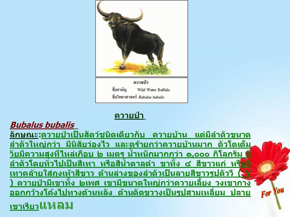 ควายป่า Bubalus bubalis ลักษณะ:ควายป่าเป็นสัตว์ชนิดเดียวกับ ควายบ้าน แต่มีลำตัวขนาด ลำตัวใหญ่กว่า มีนิสัยว่องไว และดุร้ายกว่าควายบ้านมาก ตัวโตเต็ม วัย