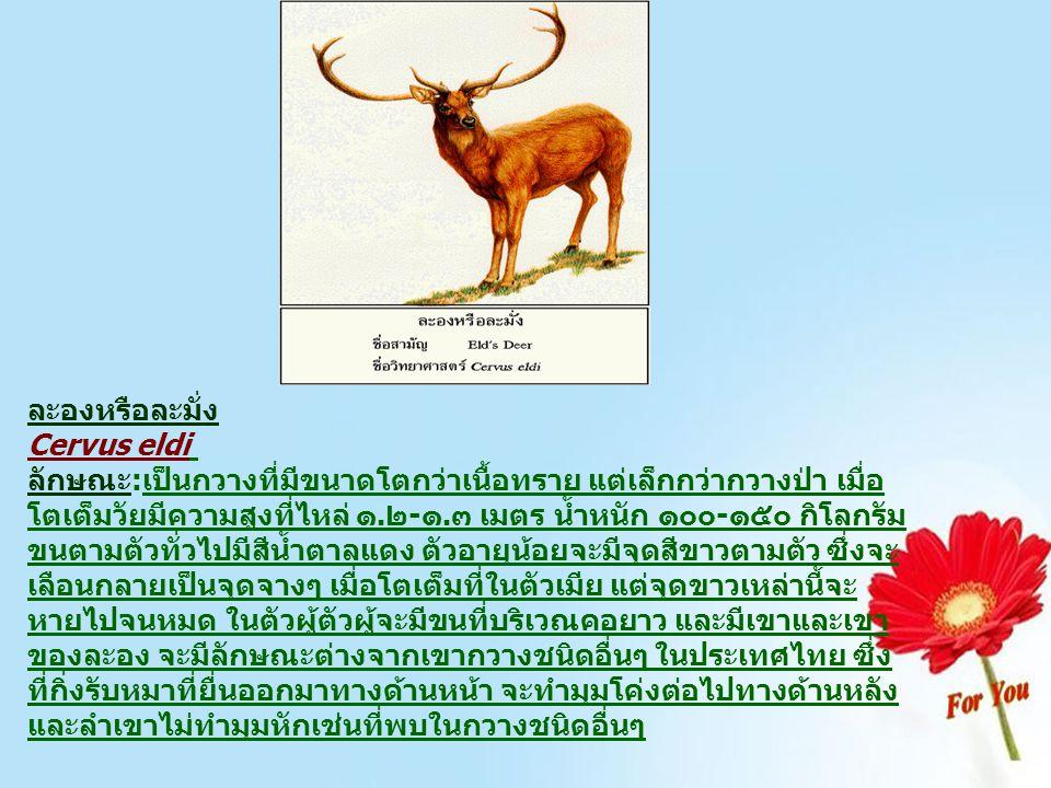 ละองหรือละมั่ง Cervus eldi ลักษณะ:เป็นกวางที่มีขนาดโตกว่าเนื้อทราย แต่เล็กกว่ากวางป่า เมื่อ โตเต็มวัยมีความสูงที่ไหล่ ๑.๒-๑.๓ เมตร น้ำหนัก ๑๐๐-๑๕๐ กิโ
