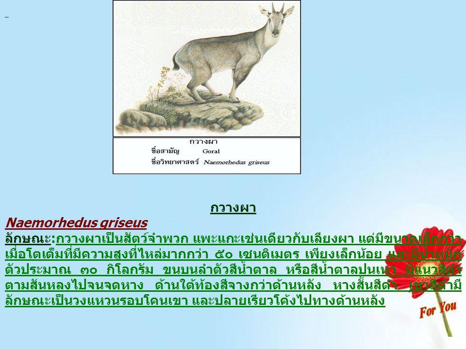 กวางผา Naemorhedus griseus ลักษณะ:กวางผาเป็นสัตว์จำพวก แพะแกะเช่นเดียวกับเลียงผา แต่มีขนาดเล็กกว่า เมื่อโตเต็มที่มีความสูงที่ไหล่มากกว่า ๕๐ เซนติเมตร