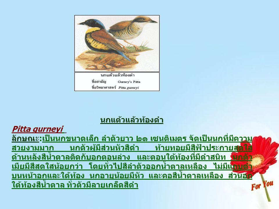 นกแต้วแล้วท้องดำ Pitta gurneyi ลักษณะ:เป็นนกขนาดเล็ก ลำตัวยาว ๒๑ เซนติเมตร จัดเป็นนกที่มีความ สวยงามมาก นกตัวผู้มีส่วนหัวสีดำ ท้ายทอยมีสีฟ้าประกายสดใส