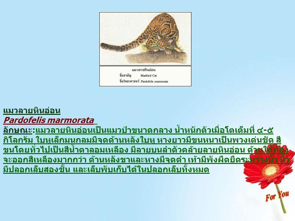 แมวลายหินอ่อน Pardofelis marmorata ลักษณะ:แมวลายหินอ่อนเป็นแมวป่าขนาดกลาง น้ำหนักตัวเมื่อโตเต็มที่ ๔-๕ กิโลกรัม ใบหูเล็กมนกลมมีจุดด้านหลังใบหู หางยาวม