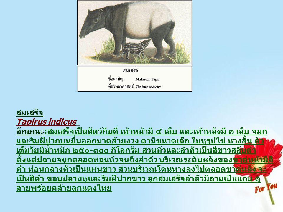 สมเสร็จ Tapirus indicus ลักษณะ:สมเสร็จเป็นสัตว์กีบคี่ เท้าหน้ามี ๔ เล็บ และเท้าหลังมี ๓ เล็บ จมูก และริมฝีปากบนยื่นออกมาคล้ายงวง ตามีขนาดเล็ก ใบหูรูปไ