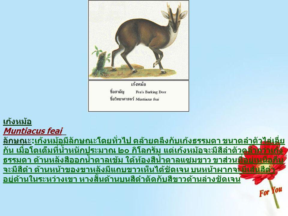 เก้งหม้อ Muntiacus feai ลักษณะ:เก้งหม้อมีลักษณะโดยทั่วไป คล้ายคลึงกับเก้งธรรมดา ขนาดลำตัวไล่เลี่ย กัน เมื่อโตเต็มที่น้ำหนักประมาณ ๒๐ กิโลกรัม แต่เก้งห