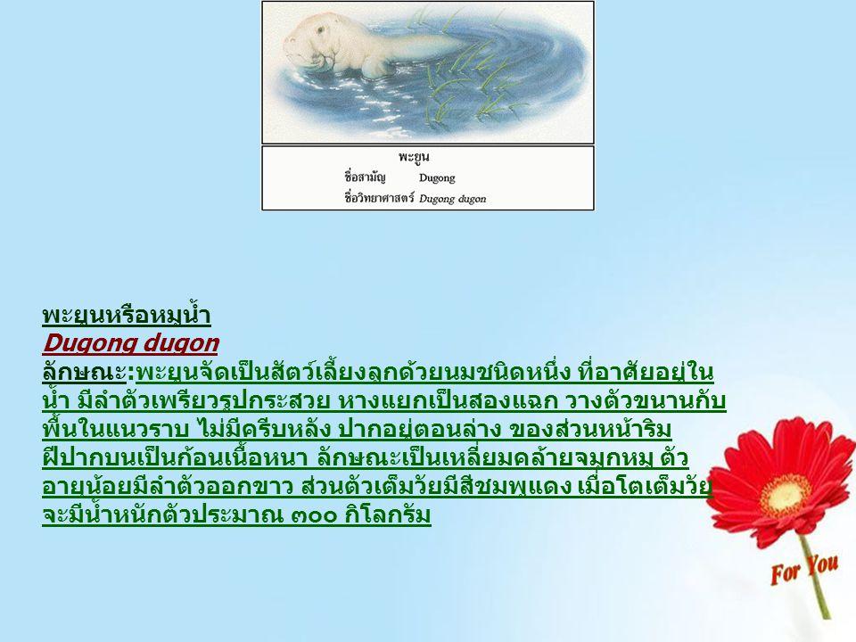 พะยูนหรือหมูน้ำ Dugong dugon ลักษณะ:พะยูนจัดเป็นสัตว์เลี้ยงลูกด้วยนมชนิดหนึ่ง ที่อาศัยอยู่ใน น้ำ มีลำตัวเพรียวรูปกระสวย หางแยกเป็นสองแฉก วางตัวขนานกับ