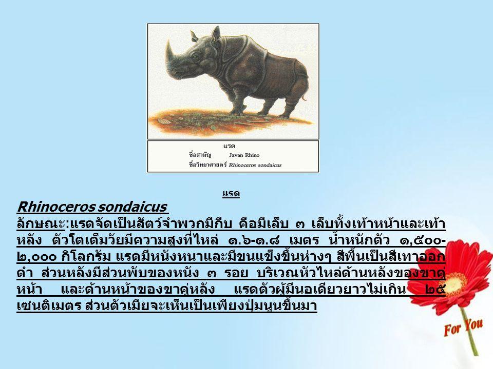 แรด Rhinoceros sondaicus ลักษณะ : แรดจัดเป็นสัตว์จำพวกมีกีบ คือมีเล็บ ๓ เล็บทั้งเท้าหน้าและเท้า หลัง ตัวโตเต็มวัยมีความสูงที่ไหล่ ๑. ๖ - ๑. ๘ เมตร น้ำ