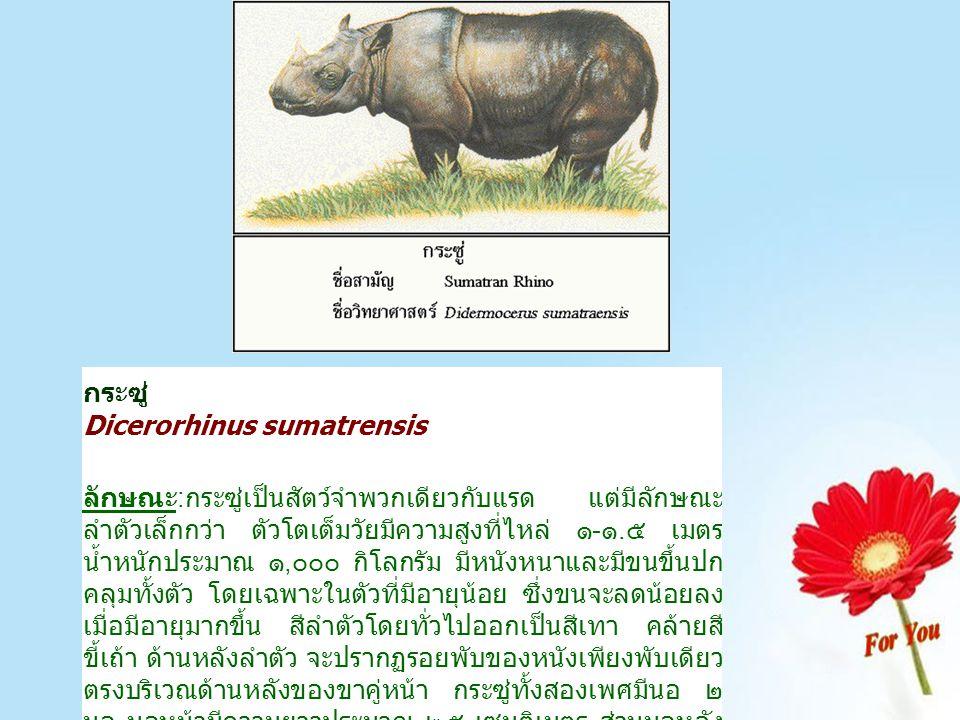 กระซู่ Dicerorhinus sumatrensis ลักษณะ:กระซู่เป็นสัตว์จำพวกเดียวกับแรด แต่มีลักษณะ ลำตัวเล็กกว่า ตัวโตเต็มวัยมีความสูงที่ไหล่ ๑-๑.๕ เมตร น้ำหนักประมาณ