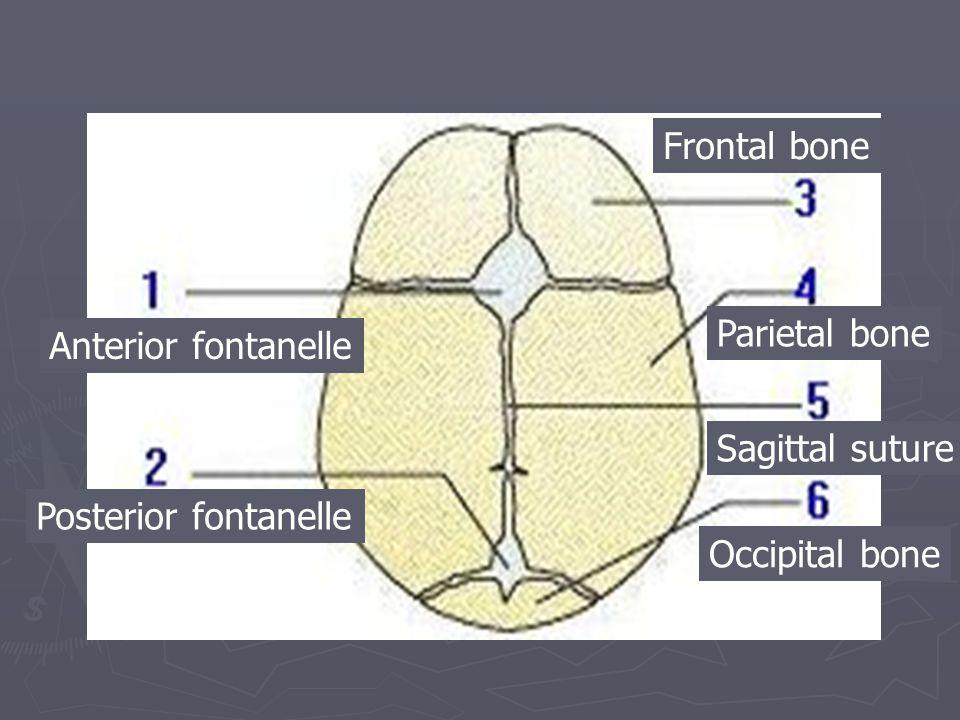 Anterior fontanelle Posterior fontanelle Frontal bone Parietal bone Sagittal suture Occipital bone