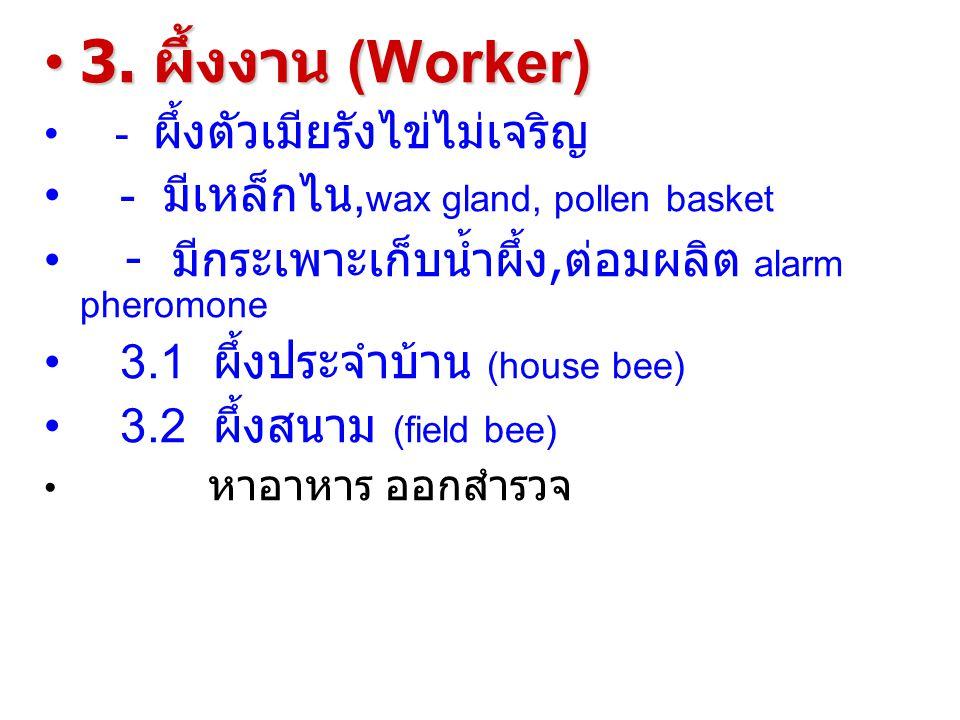 3.ผึ้งงาน (Worker)3.