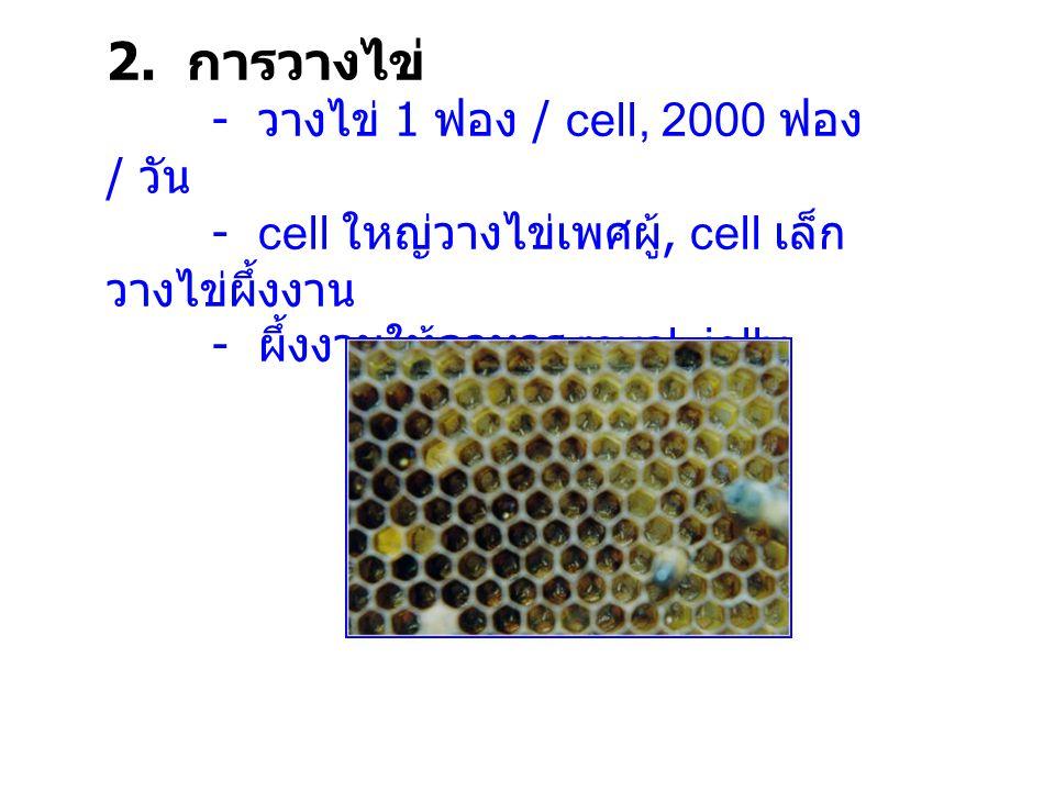 2. การวางไข่ - วางไข่ 1 ฟอง / cell, 2000 ฟอง / วัน - cell ใหญ่วางไข่เพศผู้, cell เล็ก วางไข่ผึ้งงาน - ผึ้งงานให้อาหาร royal jelly