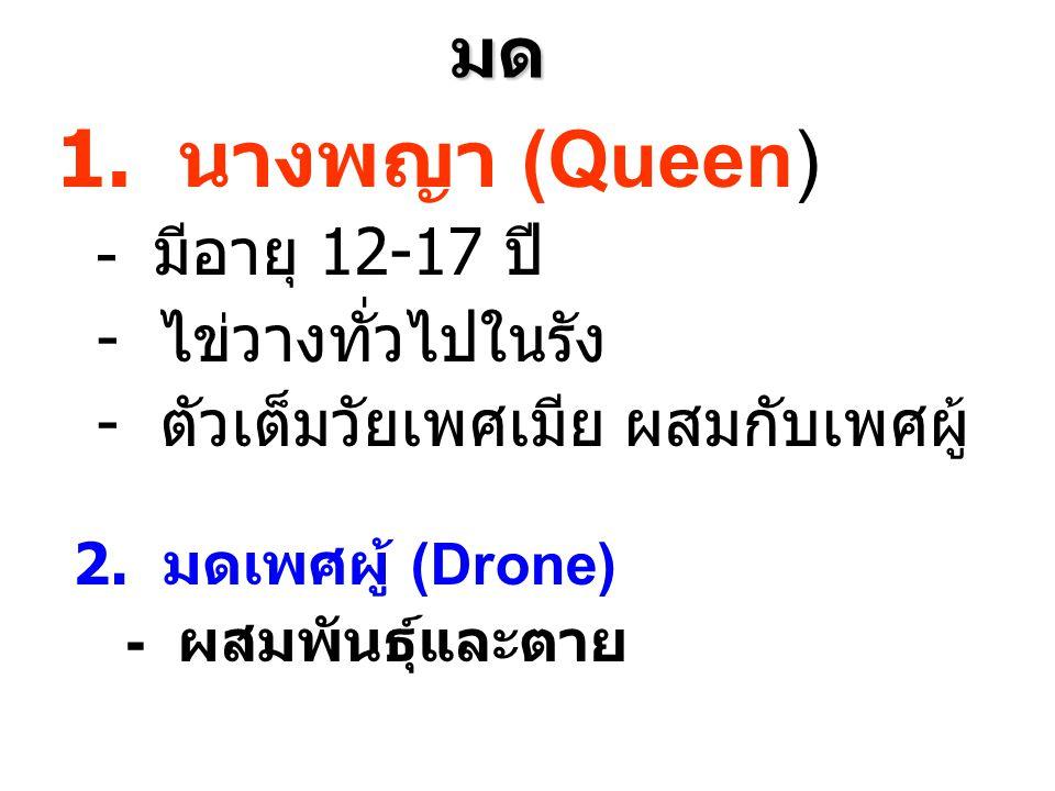 มด 1.นางพญา (Queen) - มีอายุ 12-17 ปี - ไข่วางทั่วไปในรัง - ตัวเต็มวัยเพศเมีย ผสมกับเพศผู้ 2.