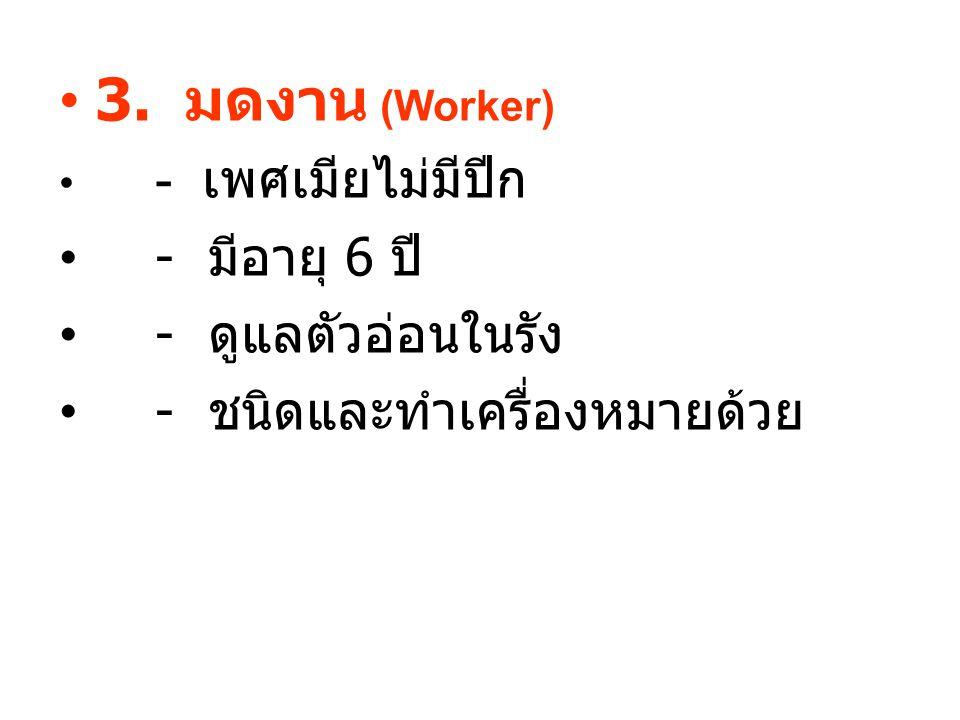 3. มดงาน (Worker) - เพศเมียไม่มีปีก - มีอายุ 6 ปี - ดูแลตัวอ่อนในรัง - ชนิดและทำเครื่องหมายด้วย