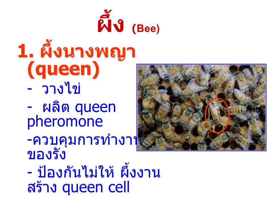 1. ผึ้งนางพญา (queen) - วางไข่ - ผลิต queen pheromone - ควบคุมการทำงาน ของรัง - ป้องกันไม่ให้ ผึ้งงาน สร้าง queen cell ผึ้ง (Bee)