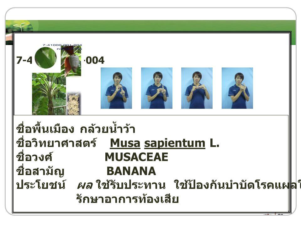 7-41000-001-004 ชื่อพื้นเมือง กล้วยน้ำว้า ชื่อวิทยาศาสตร์ Musa sapientum L. ชื่อวงศ์ MUSACEAE ชื่อสามัญ BANANA ประโยชน์ ผล ใช้รับประทาน ใช้ป้องกันบำบั