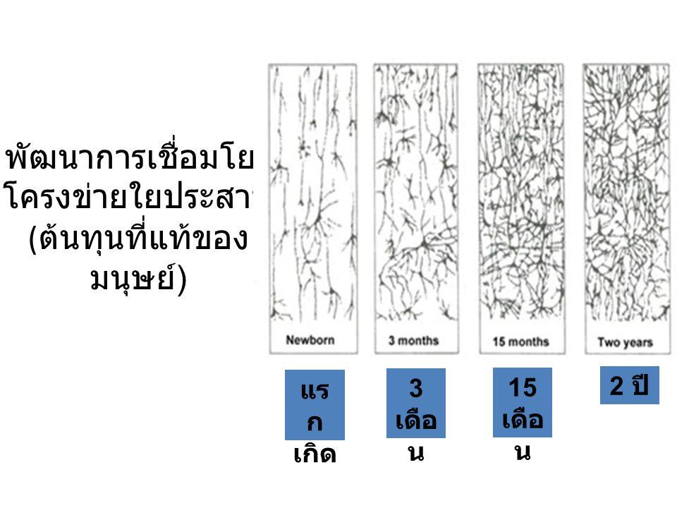 พัฒนาการเชื่อมโยง โครงข่ายใยประสาท ( ต้นทุนที่แท้ของ มนุษย์ ) แร ก เกิด 3 เดือ น 15 เดือ น 2 ปี