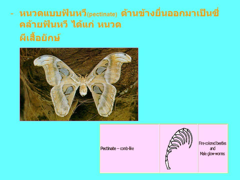 - หนวดแบบฟันหวี (pectinate) ด้านข้างยื่นออกมาเป็นซี่ คล้ายฟันหวี ได้แก่ หนวด ผีเสื้อยักษ์