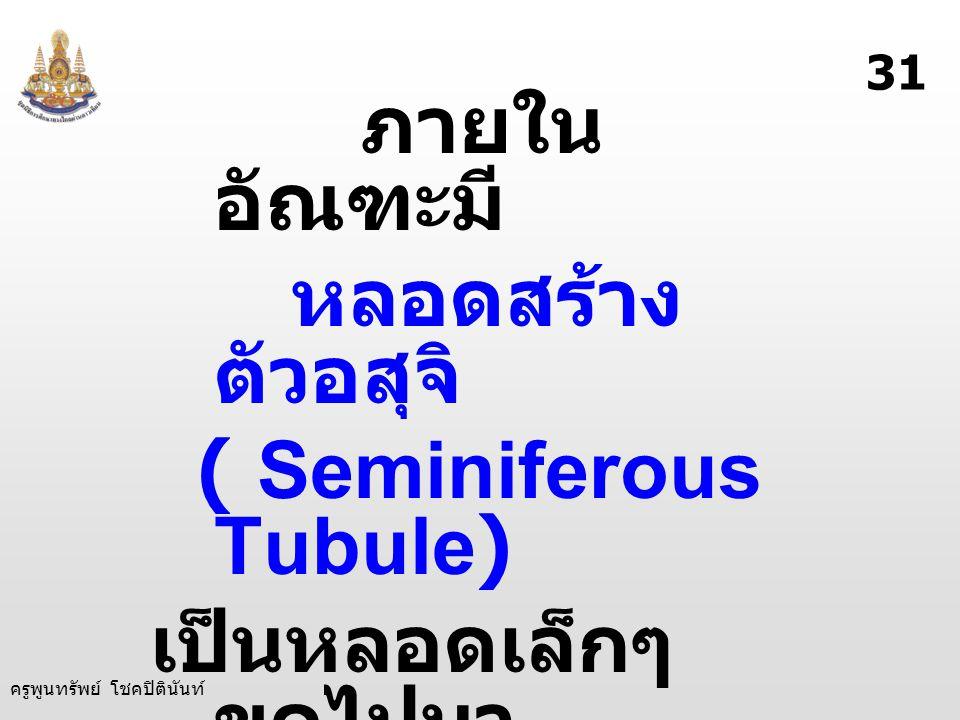 ครูพูนทรัพย์ โชคปิตินันท์ ภายใน อัณฑะมี หลอดสร้าง ตัวอสุจิ ( Seminiferous Tubule) เป็นหลอดเล็กๆ ขดไปมา ทำหน้าที่ สร้าง ตัวอสุจิ 31