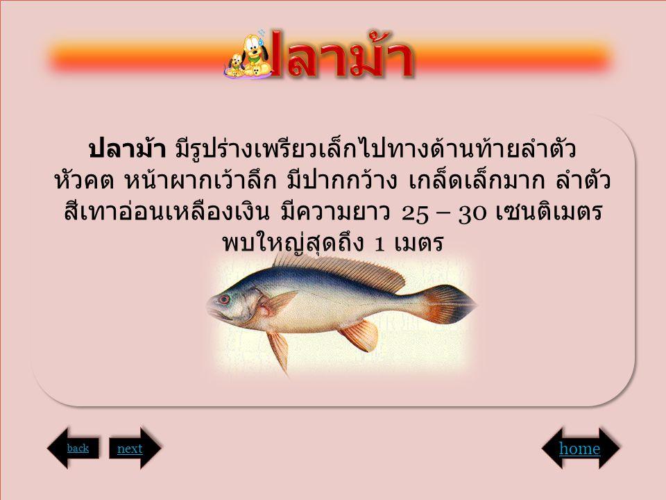 ปลาม้า มีรูปร่างเพรียวเล็กไปทางด้านท้ายลำตัว หัวคต หน้าผากเว้าลึก มีปากกว้าง เกล็ดเล็กมาก ลำตัว สีเทาอ่อนเหลืองเงิน มีความยาว 25 – 30 เซนติเมตร พบใหญ่