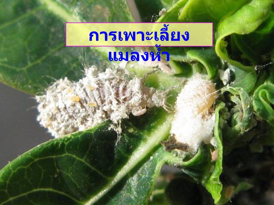 ข้อควรคำนึง ในการ เพาะเลี้ยงแมลงห้ำ - วงจรชีวิต - พฤติกรรมแต่ละระยะ / การกินกันเอง - อาหาร / เหยื่อ
