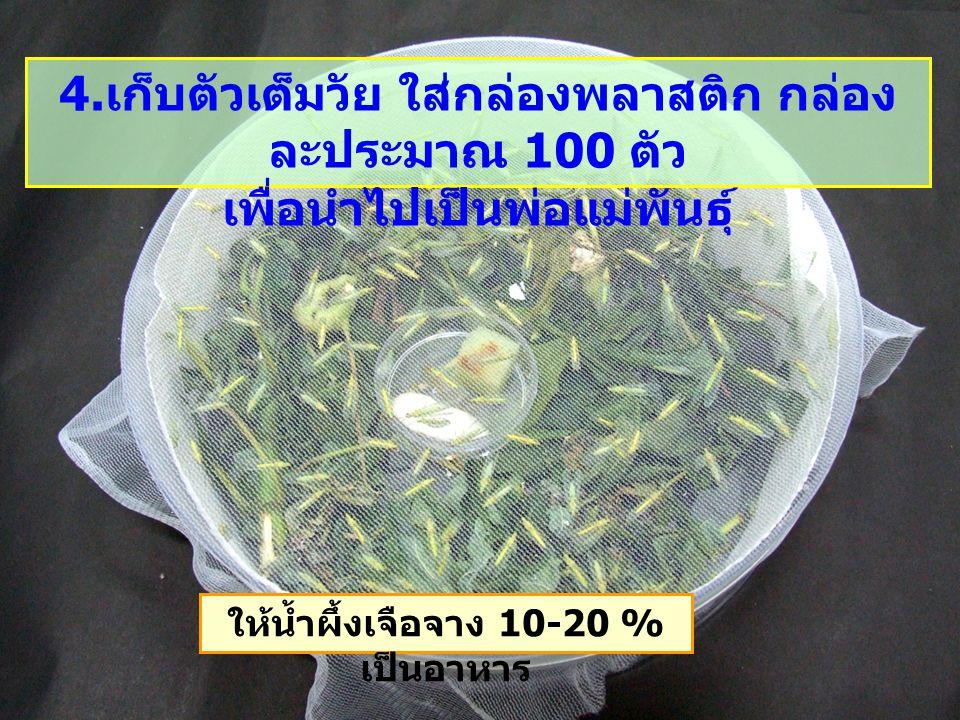 4. เก็บตัวเต็มวัย ใส่กล่องพลาสติก กล่อง ละประมาณ 100 ตัว เพื่อนำไปเป็นพ่อแม่พันธุ์ ให้น้ำผึ้งเจือจาง 10-20 % เป็นอาหาร