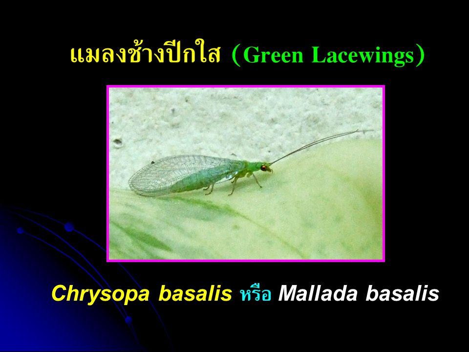 แมลงช้างปีกใส (Green Lacewings) Chrysopa basalis หรือ Mallada basalis