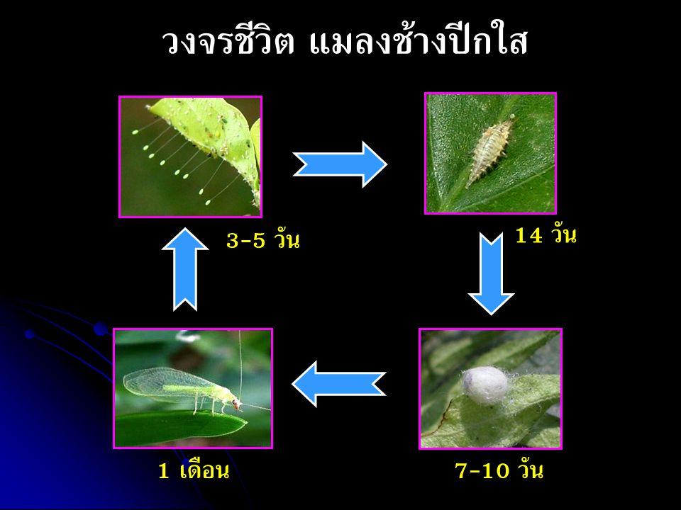 วงจรชีวิต แมลงช้างปีกใส 3-5 วัน 14 วัน 7-10 วัน1 เดือน