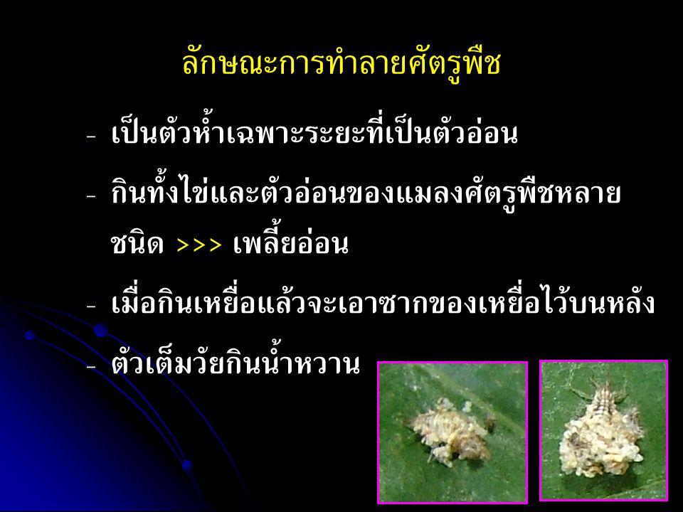 ลักษณะการทำลายศัตรูพืช - - เป็นตัวห้ำเฉพาะระยะที่เป็นตัวอ่อน - - กินทั้งไข่และตัวอ่อนของแมลงศัตรูพืชหลาย ชนิด >>> เพลี้ยอ่อน - - เมื่อกินเหยื่อแล้วจะเอาซากของเหยื่อไว้บนหลัง - - ตัวเต็มวัยกินน้ำหวาน