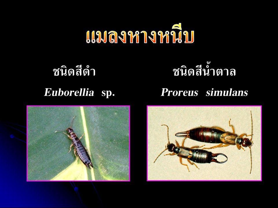 ชนิดสีดำ Euborellia sp. ชนิดสีน้ำตาล Proreus simulans
