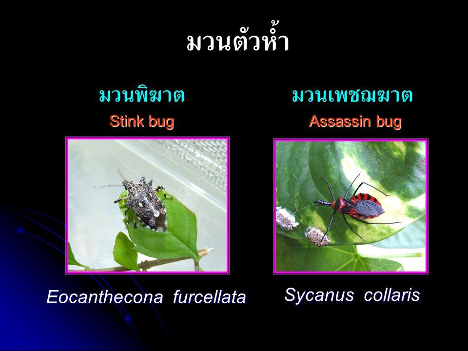 การปล่อยแมลงห้ำ - ปล่อยเป็นจุดๆ ให้กระจายไปทั่วทั้ง แปลงปลูก - - หลีกเลี่ยงช่วงที่แสงแดดจัด - - งดการพ่นสารเคมีกำจัดแมลง