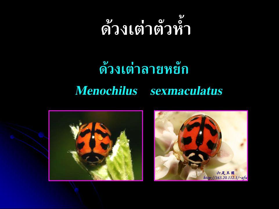 ด้วงเต่าตัวห้ำ ด้วงเต่าลายหยัก Menochilus sexmaculatus